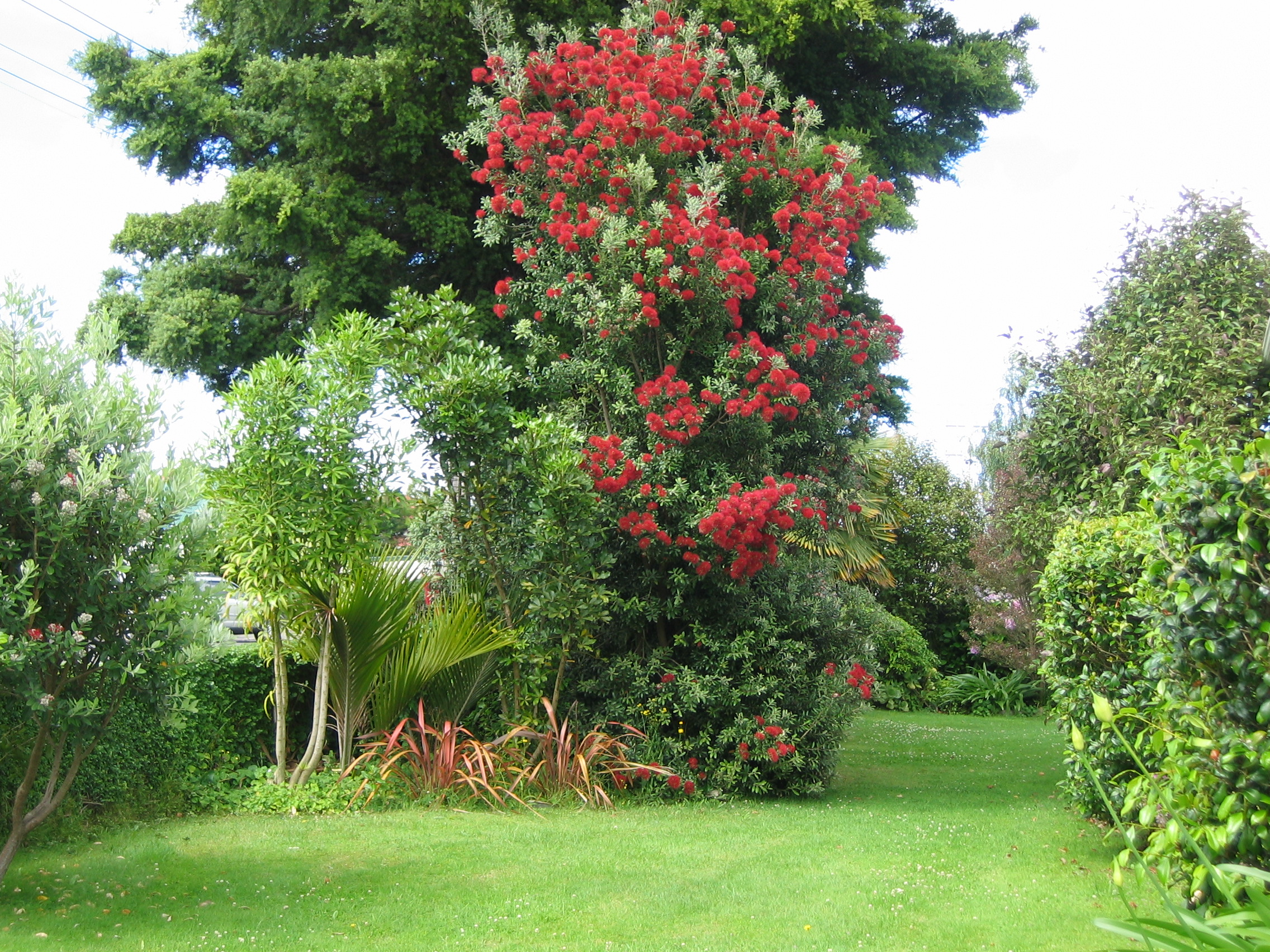 Pohutukawa in flower Braemar House