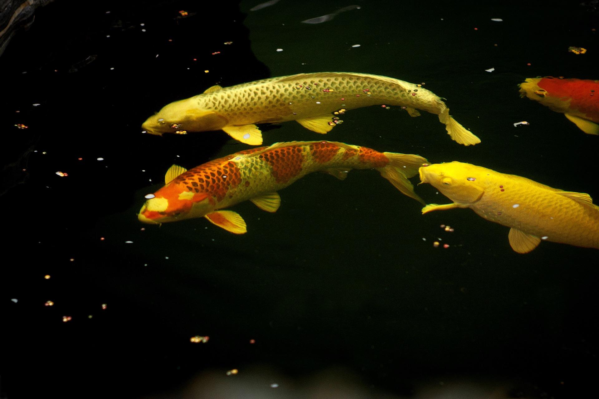 Teichfische bern koi teichfische f r jeden geschmack for Koi teichfische