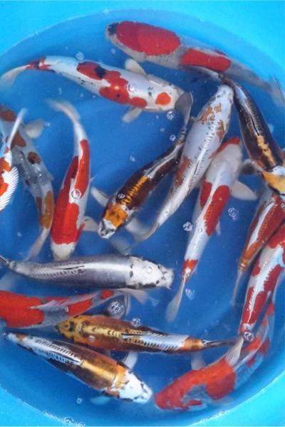 goldfische kaufen bei uns k nnen sie auch goldfische kaufen. Black Bedroom Furniture Sets. Home Design Ideas