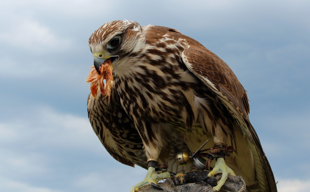Hungry Hawk