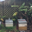 our new hive on the right with the two hives that had been attacked by wasps
