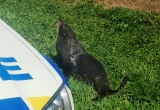 Seal in Morrinsville