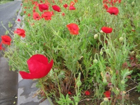 Wild poppies flowering along our entrance driveway