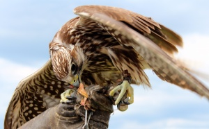 Hawk Munch