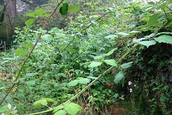 Weeds - blackberry