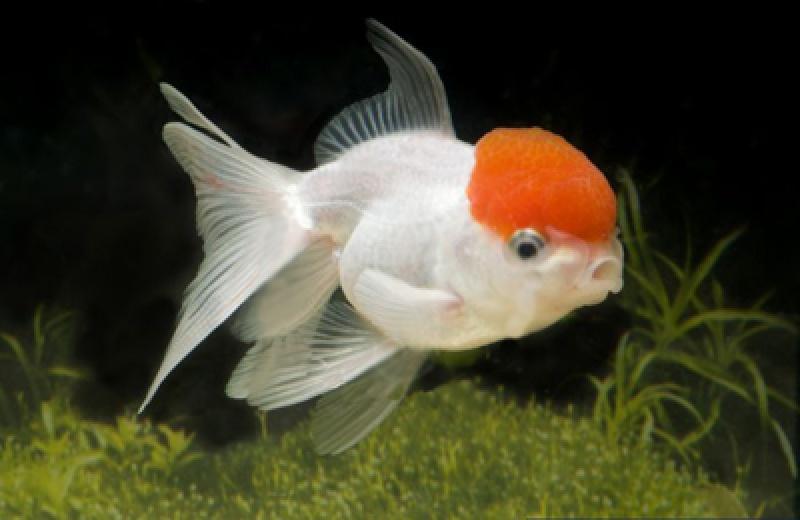 Goldfische im teich grasfrosch rana temporaria with for Teichfische shubunkin