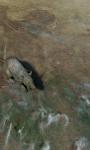 African Rat