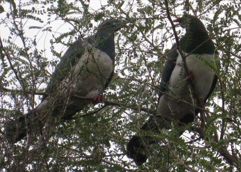 Two Kereru or NZ Wood Pigeon enjoy the Kowhai trees in our garden