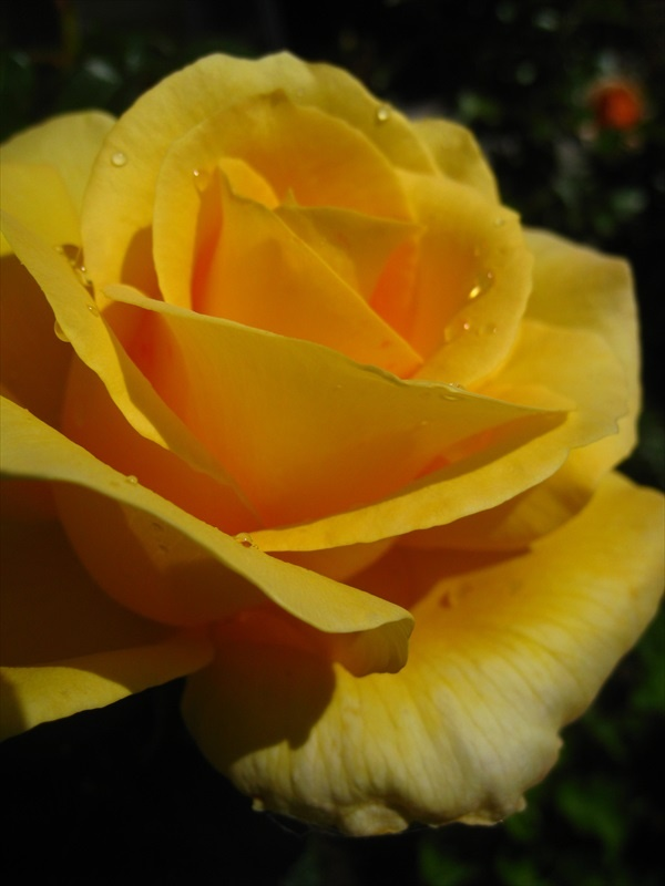 Gold and Glory rose