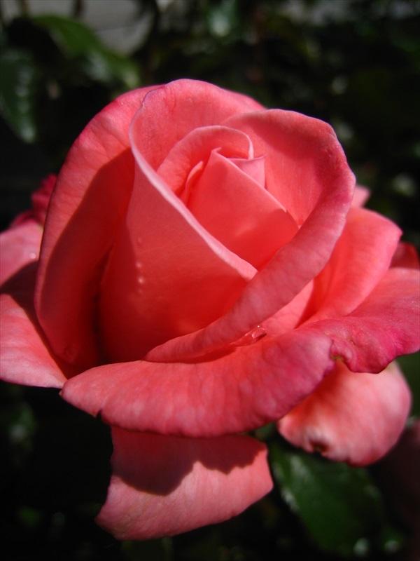 Aotearoa rose in the garden