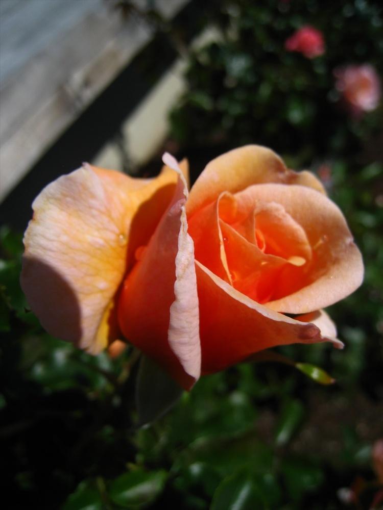 Aotearoa Rose