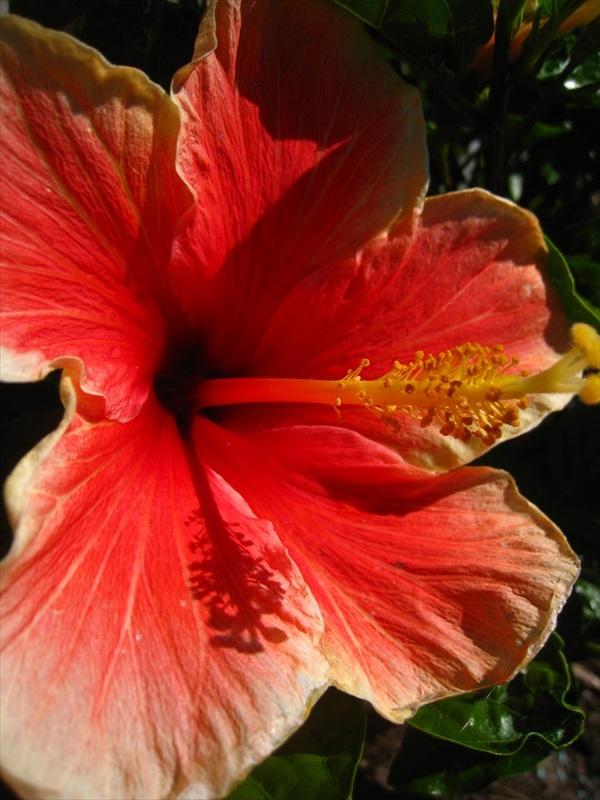 Hawaian Hibiscus