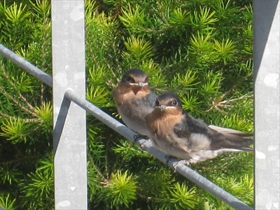 Young welcome swallow chicks just fledged